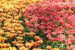 Een golf binnen - tussen rode en oranje tulpen Royalty-vrije Stock Afbeeldingen