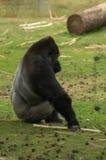 Een gorilla op het gazon Royalty-vrije Stock Foto's