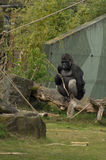 Een gorilla op het gazon Stock Afbeeldingen