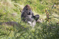 Een Gorillazitting in het gras stock foto