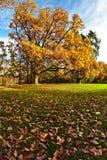Een gouden eiken boom in het park royalty-vrije stock foto