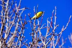 Een gouden vinkzitting in een boom Royalty-vrije Stock Fotografie