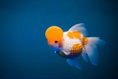 Een goudvis Royalty-vrije Stock Afbeelding