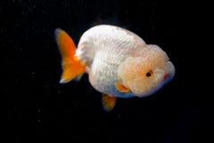 Een goudvis Royalty-vrije Stock Afbeeldingen