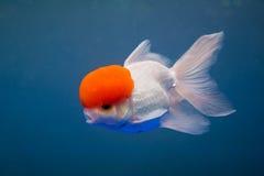 Een goudvis Stock Afbeeldingen