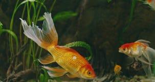 Een goudvis die in een aquarium zwemmen stock video