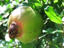 Een granaatappelfruit Royalty-vrije Stock Foto's
