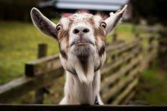 Een grappige geit die camera bekijken stock afbeelding