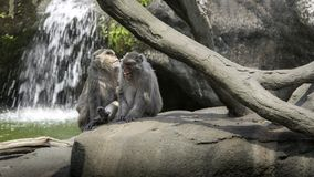 Een grappige scène van het lachen apen Twee volwassenen Formosan rots macaques stock afbeelding