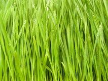 Een gras in dauw Stock Afbeelding