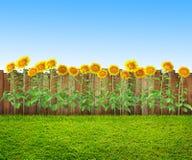 Een gras en zonnebloemen bij binnenplaats, de lenteachtergrond stock afbeeldingen