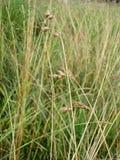 Een grassprietje Stock Foto