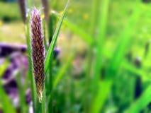 Een grassprietje Stock Afbeelding
