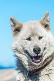 Een greenlandic hond in agressieve houding, Sisimiut, Groenland stock foto
