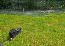Een Grens Collie Keeping zijn kudde van schapen samen royalty-vrije stock afbeeldingen