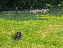 Een Grens Collie Keeping zijn kudde van schapen samen stock afbeeldingen