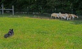 Een Grens Collie Keeping zijn kudde van schapen samen stock fotografie