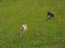 Een Grens Collie Keeping zijn kudde van schapen samen royalty-vrije stock foto's