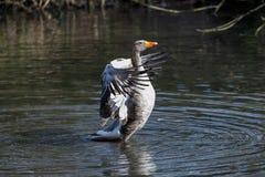 Een Greylag gans die zijn vleugels drogen stock fotografie