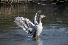 Een Greylag gans die zijn vleugels drogen royalty-vrije stock foto