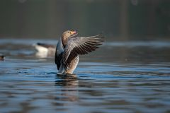 Een Greylag gans die zijn vleugels drogen bij dageraad royalty-vrije stock foto