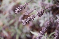 Een greypurplelavendel in de wildernis Royalty-vrije Stock Afbeeldingen