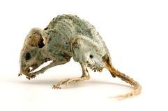 Een griezelige dode muis 3 Stock Foto