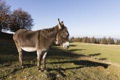 Een grijs-bruine ezel draagt een kleine Glock en bevindt zich op een weiland Royalty-vrije Stock Foto's