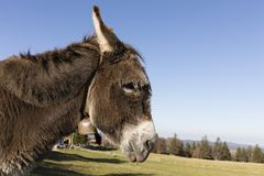 Een grijs-bruine ezel draagt een kleine klok en bevindt zich op een weiland Royalty-vrije Stock Fotografie