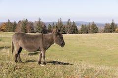 Een grijs-bruine ezel draagt een kleine klok en bevindt zich op een weiland Royalty-vrije Stock Foto