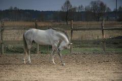 Een grijs paard met een jeuk Stock Afbeeldingen