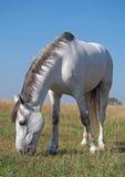 Een grijs paard op de weide Stock Afbeeldingen