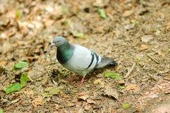 Een grijze duif loopt de grond Stock Foto