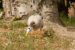 Een grijze gans loopt op het gras stock foto's