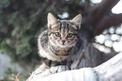 Een grijze gestreepte kat op een boomstam van een doen ineenstorten jeneverbessenboom ziet eruit Kat in de wildernis royalty-vrije stock afbeeldingen