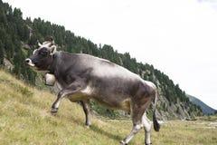 Een grijze Melkkoe die op een alp in de Oostenrijkse bergen weiden stock fotografie