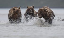 Een grizzly die die een Salomon dragen, door twee grizzlys, in Katmai wordt achtervolgd royalty-vrije stock afbeeldingen