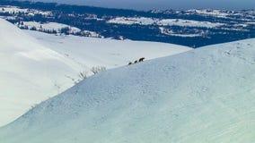 Een grizzlyzeug leidt haar welpen door de sneeuw stock foto's