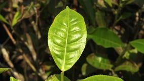 Een groen blad in India stock videobeelden