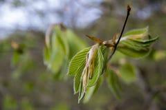 Een groen blad op een tak Het schieten van macro Vage achtergrond stock fotografie