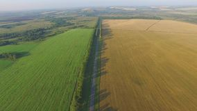 Een groen en geel gebied van tarwe stock video