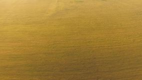 Een groen en geel gebied van tarwe stock footage