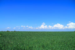 Een groen gebied van graangewassen Royalty-vrije Stock Foto