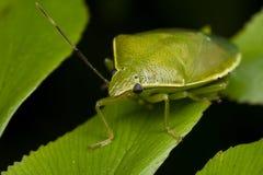 Een groen schildinsect/stinkt insect Stock Fotografie