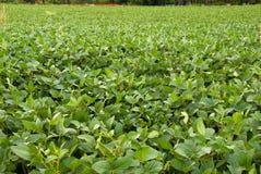 Een groen sojaboongebied Stock Foto