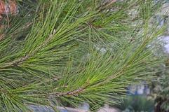 een groen takje van pijnboom op een boomachtergrond op een de zomerdag na een regen stock foto's