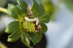 Een groene Amerikaanse bolworm op een aardbeigewas Stock Foto