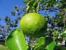 Een groene citroen van Dominicaanse republiek Stock Afbeelding