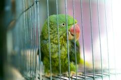 Een groene die papegaai in een staalkooi wordt opgesloten en het staren bij de camera stock fotografie