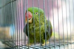 Een groene die papegaai in een staalkooi wordt opgesloten en het staren bij de camera Royalty-vrije Stock Fotografie